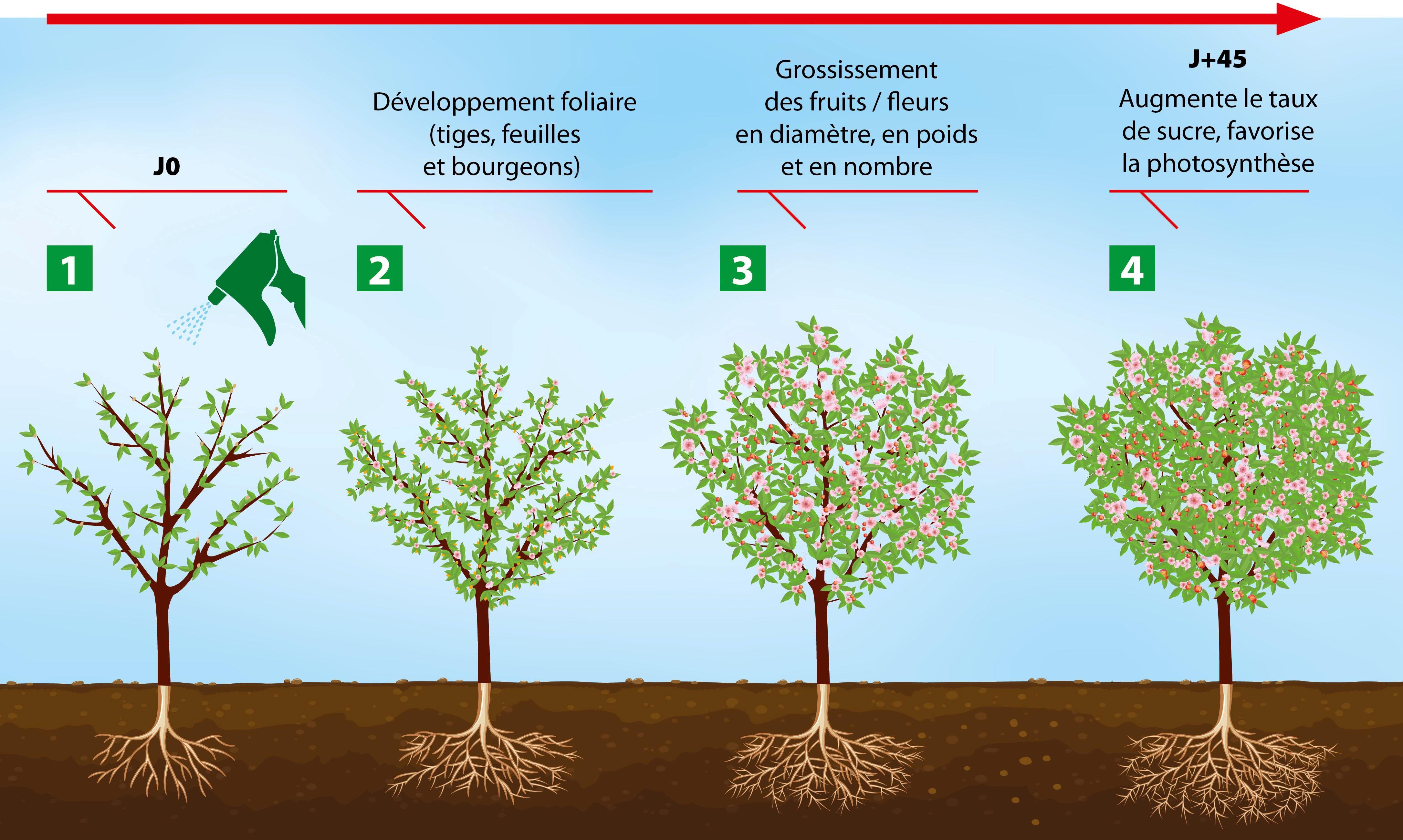 Schéma du développement des plantes